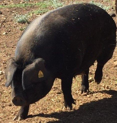 AU CLOS DE LA GRANGE, le Porc noir est dans le pré !